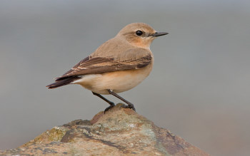 Wheatear taken by David                                       Mitchell