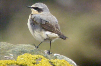 Wheatear on rock
