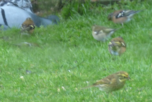 Yellowhammer in the garden