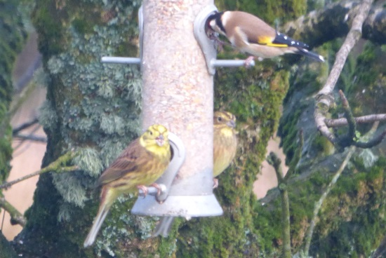 Yellowhammers on the feeder